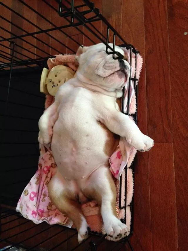 Wonderful English Bulldog Chubby Adorable Dog - c4f7aa582d2a1b853df23e8aeedb31ad  Picture_6110067  .jpg
