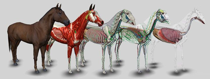 3D Horse Anatomy Software by biosphera.com.br | Cool Innovation ...