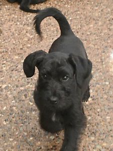 Gorgeous Schnoodle Puppies Delta Surrey Langley Greater Vancouver Area Image 8 Schnoodle Puppy Schnoodle Dogs And Puppies