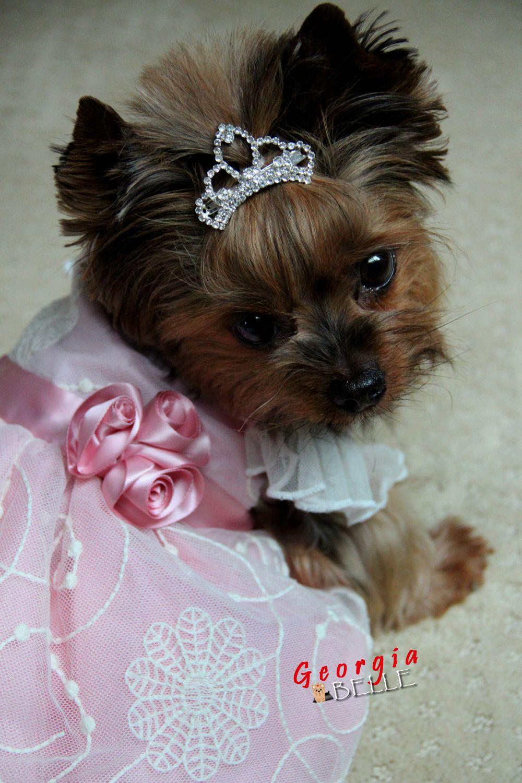 Georgia Belle The Next Disney Princess Yorkie Dogs Yorkshire Terrier Yorkshire Terrier Puppies