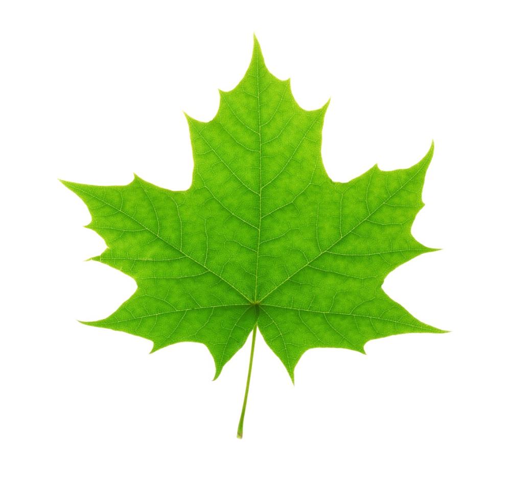 Green Maple Leaf Ag Energy Co Leaf Background Leaves Maple Leaf
