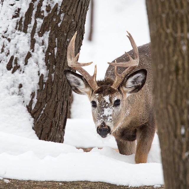 Deer walking in snow