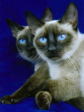 Siamese Cattery In Hammond Balinese Cat Siamese Cat Breeders Cats And Kittens