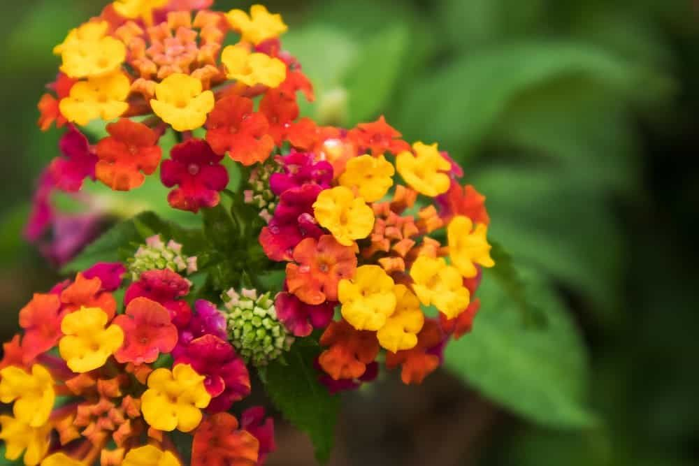 11 Types Of Lantana Flowers For Your Garden In 2020 Lantana Plant Potted Plants For Shade Lantana