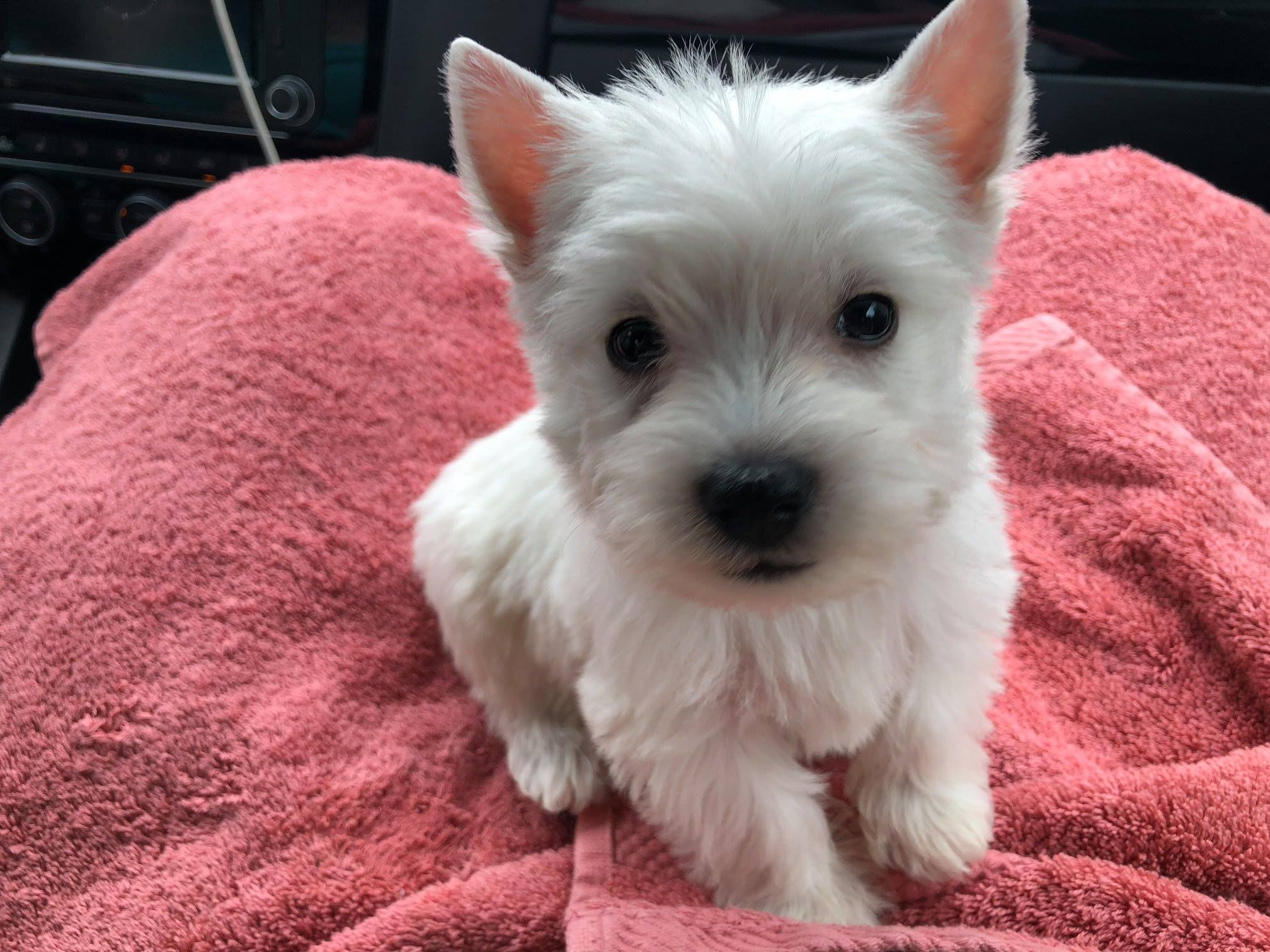 This Is Sparky 7 Weeks Old And His First Day Home Westie Dogs Westie Puppies West Highland Terrier