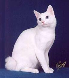white japanese bobtail cata real life hello kitty