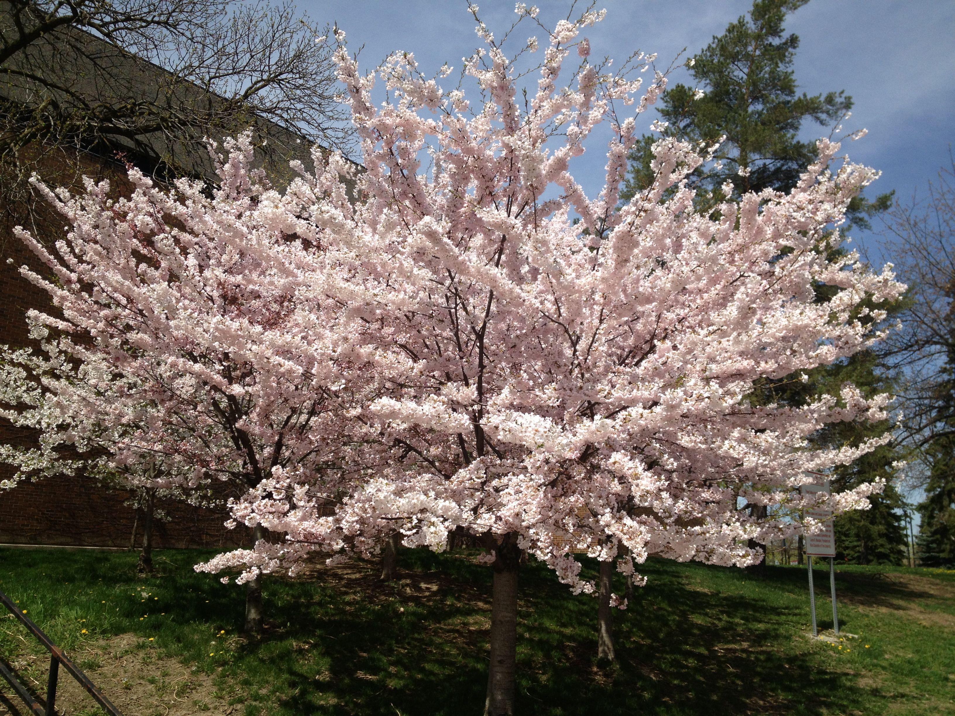 Sakura Cherry Trees At York University York University Lush Beauty Nature