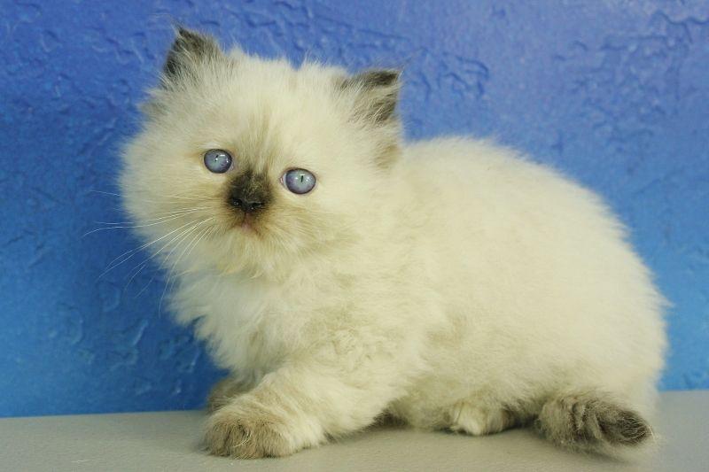 Paige Seal Point Ragamuffin Cat Kitten From Www Ragdollkitten Us