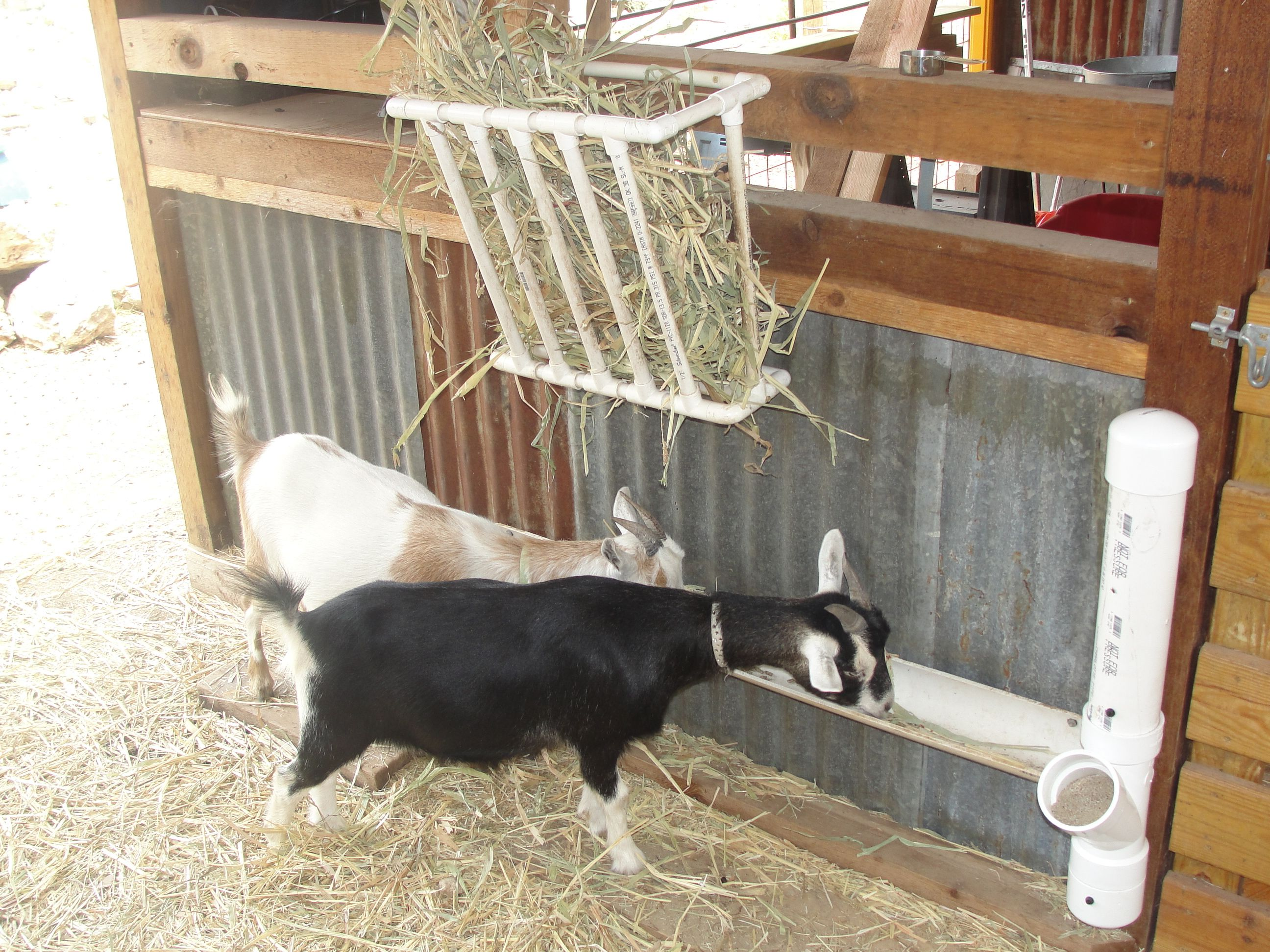goats standing a hay feeder star rack with for detail north pan ct goat item grain