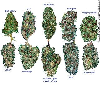 how to find what strain of weed you have