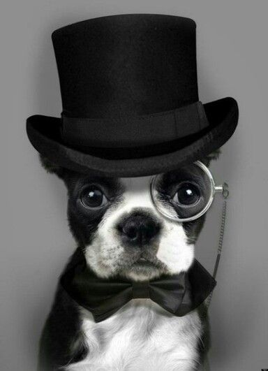 Dapper French Bulldog With Top Hat And Monocle Dapper Dogs