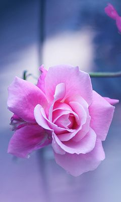 Pink Rose Mobile Phone Wallpapers 240x400 Cell Phone Hd Wallpaper Rose Seeds Beautiful Flowers Pretty Flowers