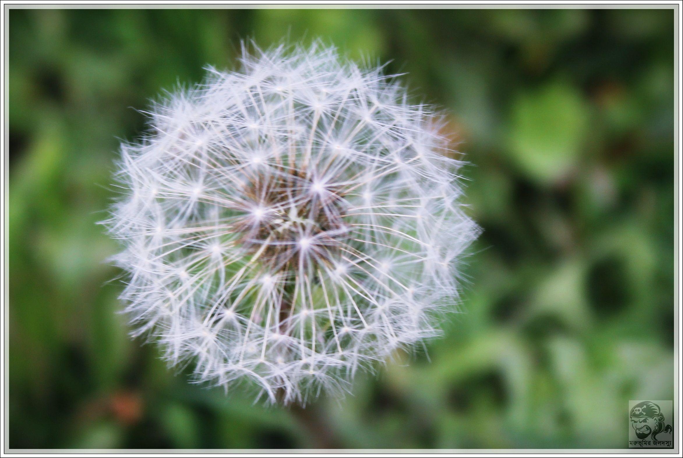 ফ ল র ন ম ড য নড ল ওন ই র জ ও কমন ন ম Dandelion ব জ ঞ ন ক ন ম Taraxacum Flowers Plants Dandelion