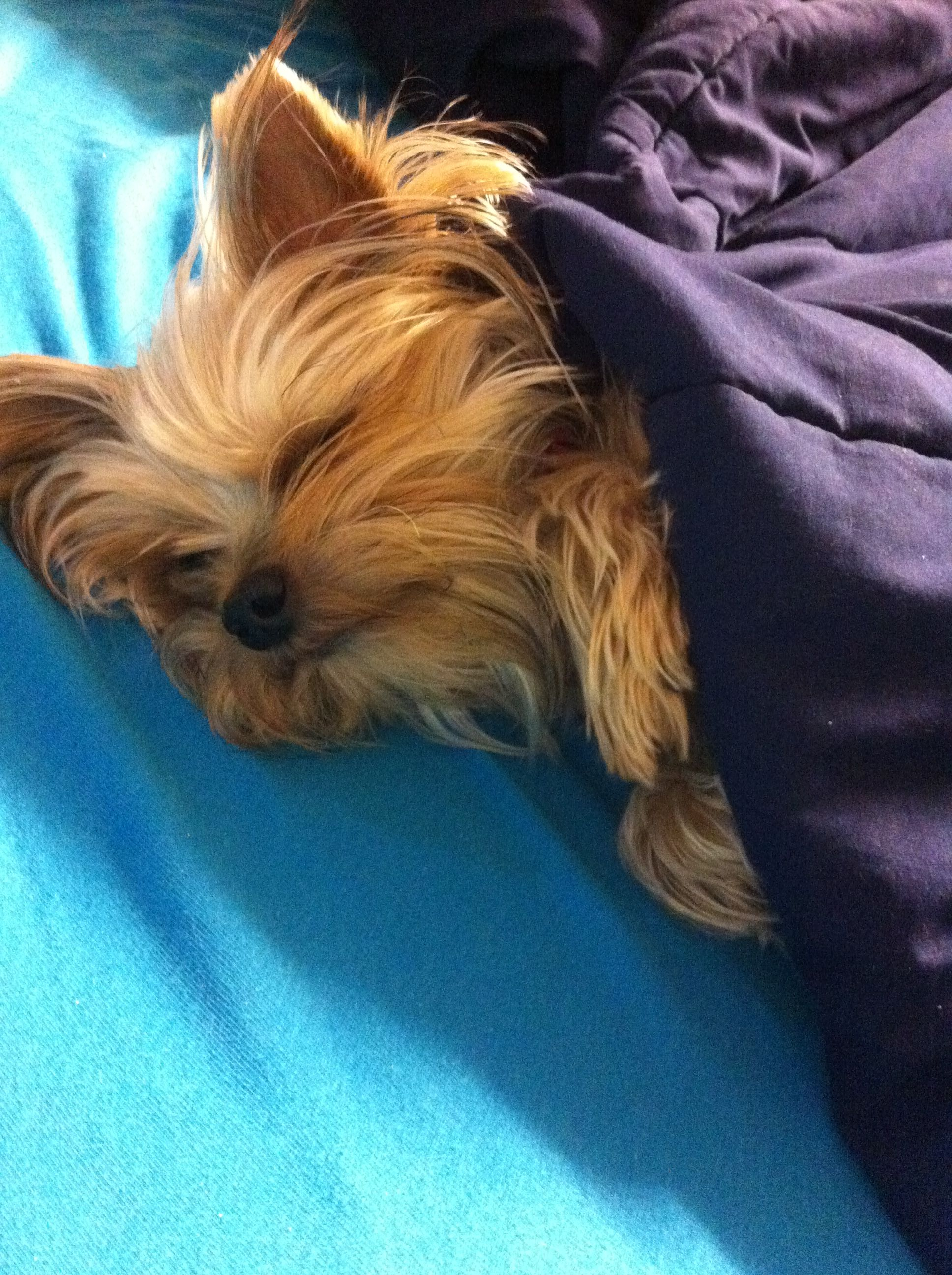My Yorkie Millie Please Follow And Repost My Board She Was Lost On Feb 5 2013 In Lufkin Tx On 103 East There Is A Yorkie Terrier Yorkie Puppy Yorkie Dogs