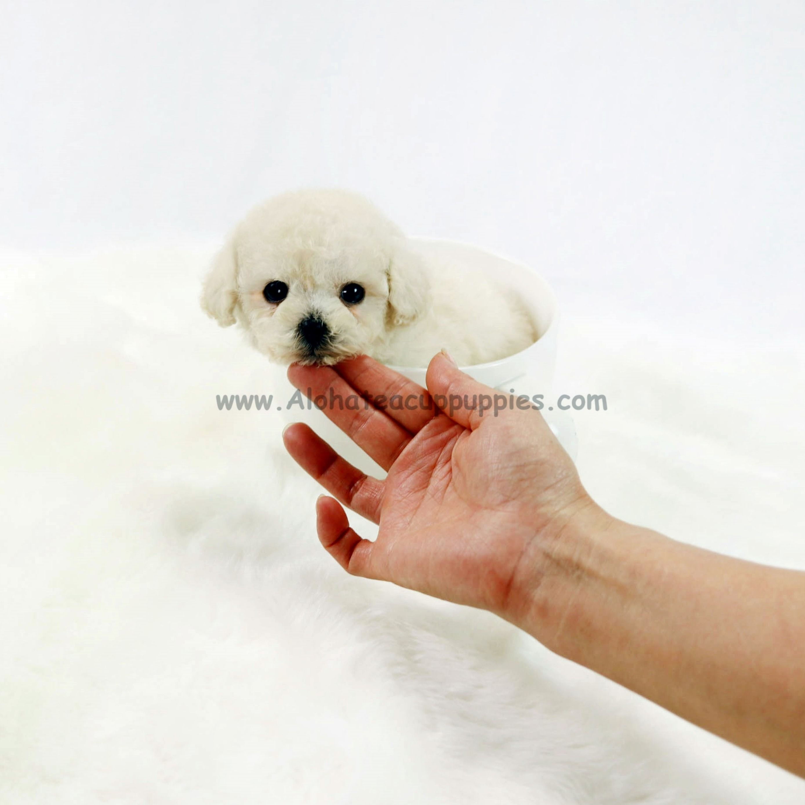 Pin by Aloha Teacup Puppies on Teacup Poodle Teacup