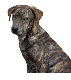 Mountain Cur Owner Experiences Tips Photos Videos Owners Share