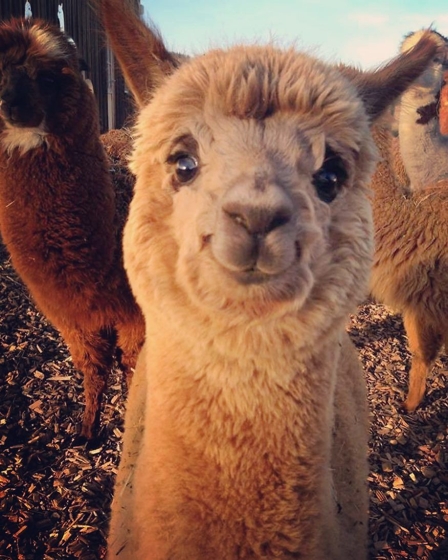 If you're having a bad day... here's a smiling Alpaca. Did