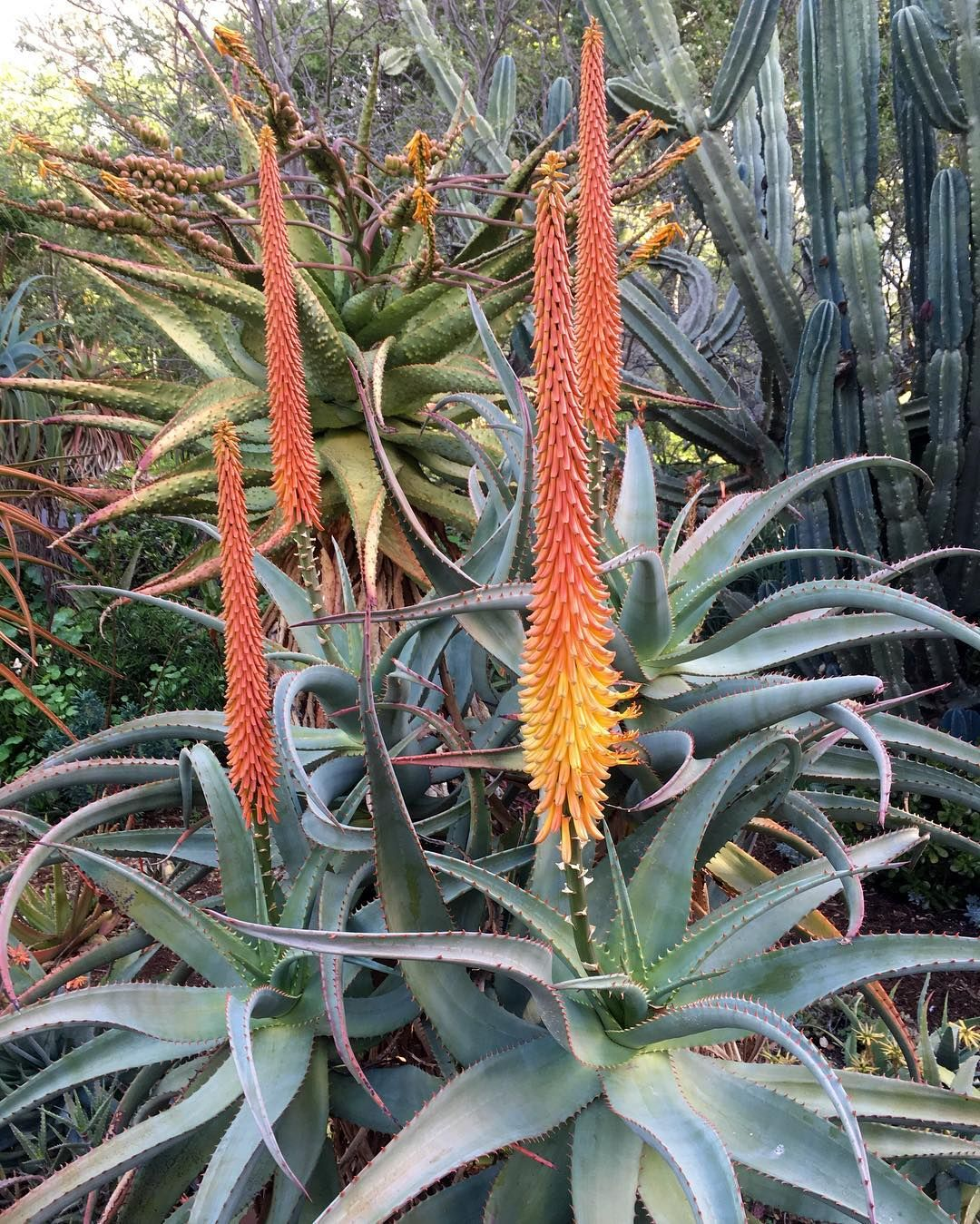 Aloe africana with a few flower buds beginning to open. A