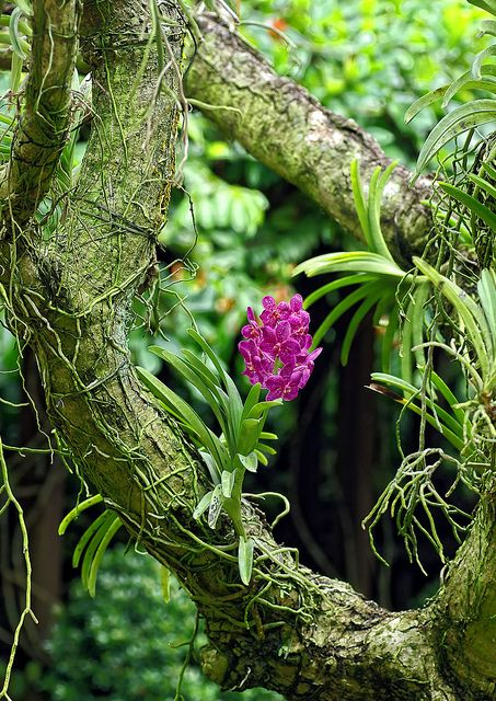 Vanda orchid growing epiphytically on a tree branch These ...