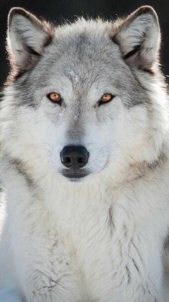 klaus mikelson x reader  wolf dog animals wolf spirit