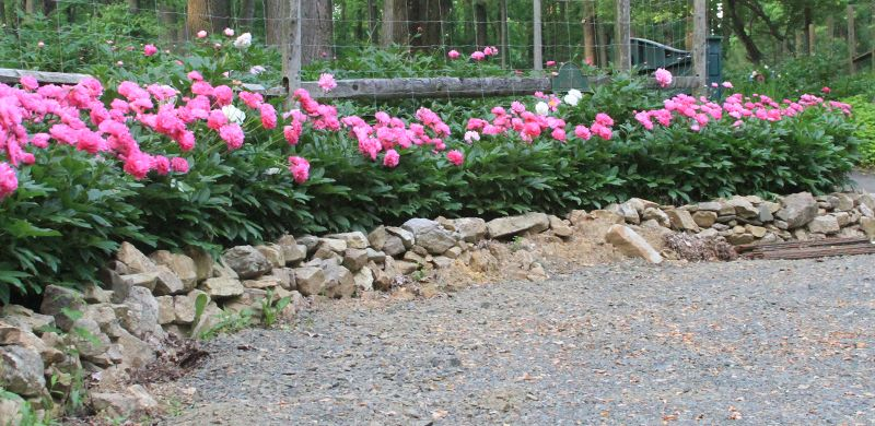 Peony Garden Planning Designing With Peonies Peonies Garden Garden Design Plans Garden Planning