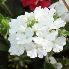 verveine retombante thalys vanille plante annuelle id ale pour vos balcons et fen tres une. Black Bedroom Furniture Sets. Home Design Ideas