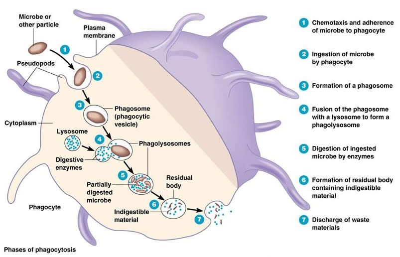 Phagocytosis---this is an image that shows how phagocytosis works