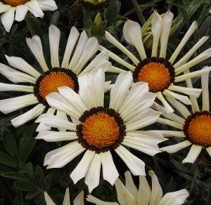 Gazania / Treasure Flower | Mike's Garden Top 5 Plants