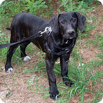 Brattleboro, VT - Great Dane/Hound (Unknown Type) Mix. Meet Grady, a dog for adoption. http://www.adoptapet.com/pet/18411523-brattleboro-vermont-great-dane-mix