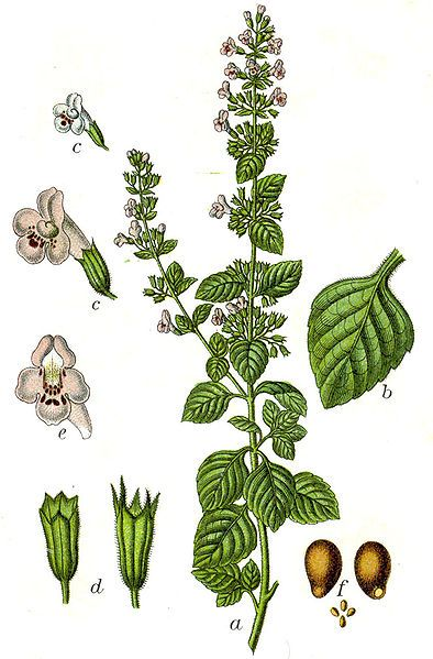Calamint Calamintha officinalis Other names:- Mill Mountain. Mountain Balm. Basil Thyme. Mountain Mint