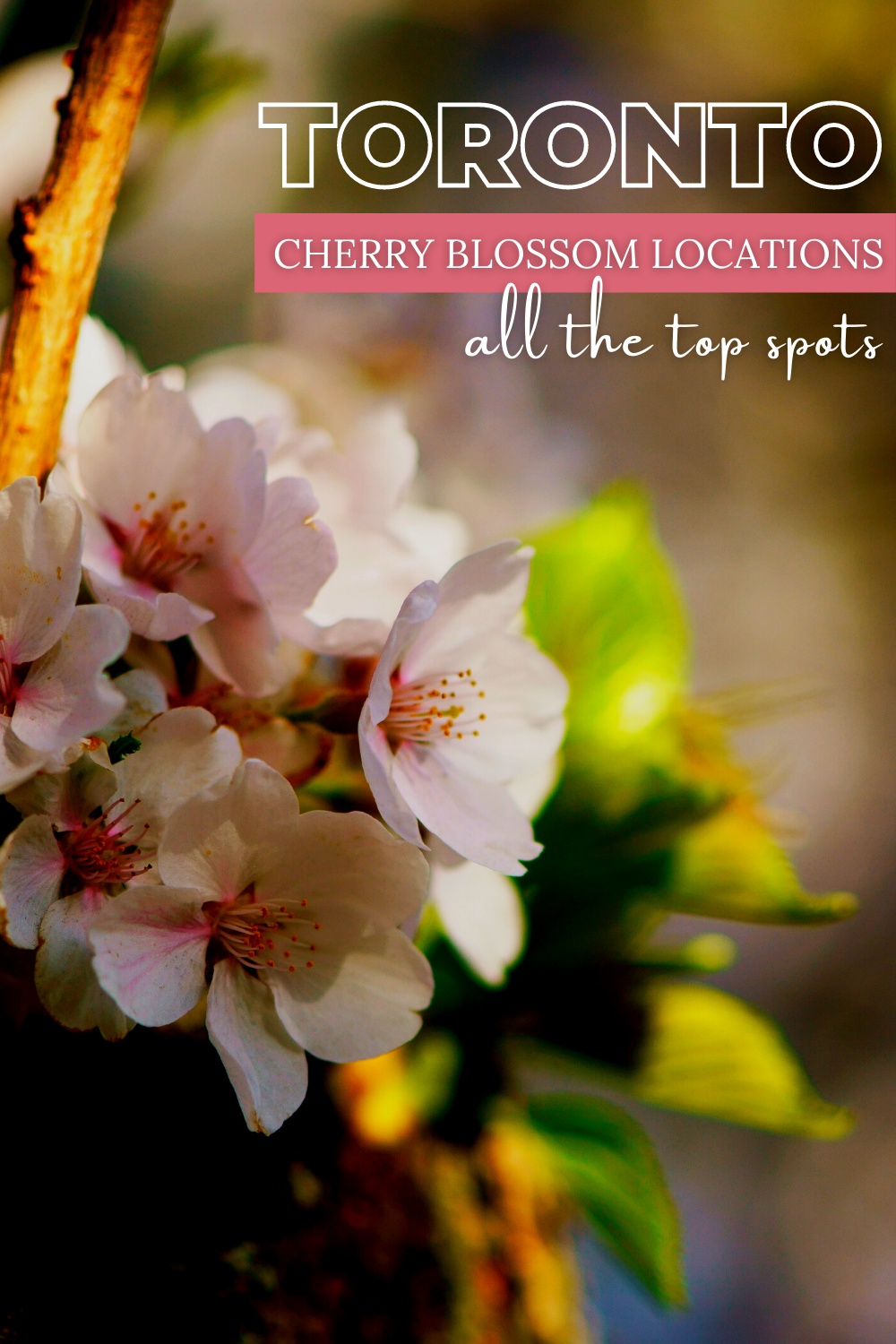 Cherry Blossom Locations In Around Toronto Ontario In 2021 Spring Travel Destinations Cherry Blossom Canadian Travel