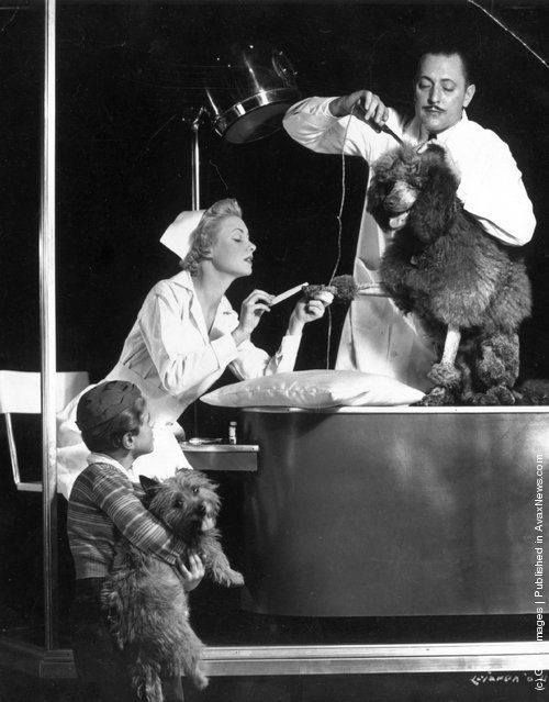 A Poodle being groomed at salon circa 1950 Dog grooming
