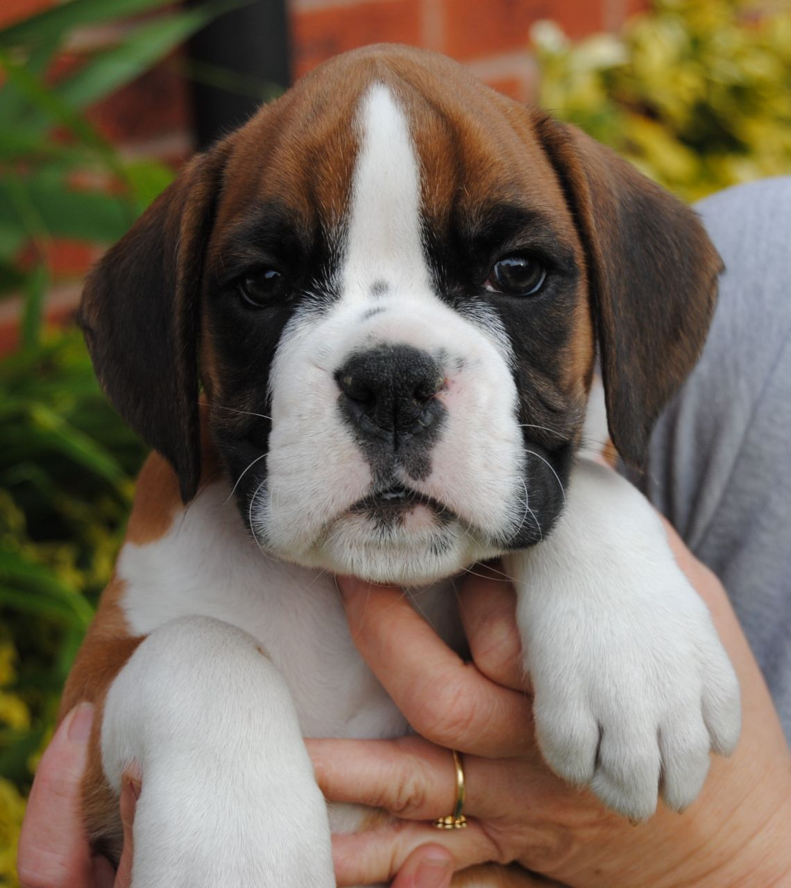 Lovely boxer puppy