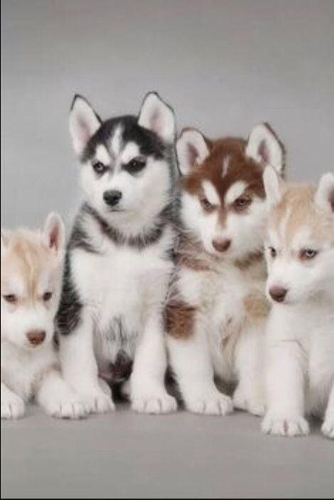 A Few Different Types Of Husky Puppies Dogs Pinterest Dogs