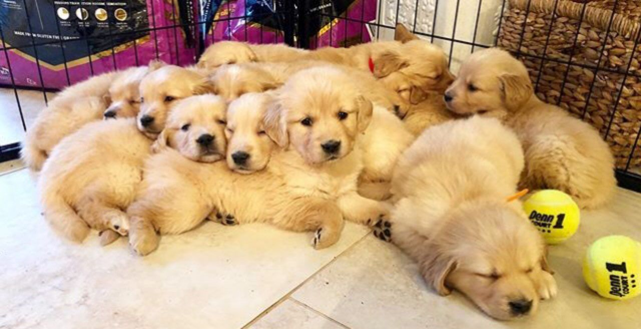 Kuwait Dogs And Puppies Adoption And Sales Email Us At Khaleelsalafi Hotmail Com Gorgeous Golden Retriever P Golden Retriever Retriever Puppy Puppies For Sale