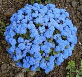 How To Grow Ageratum Flowers Blue Flowers Garden Blue Flowering Plants Flower Garden Plans