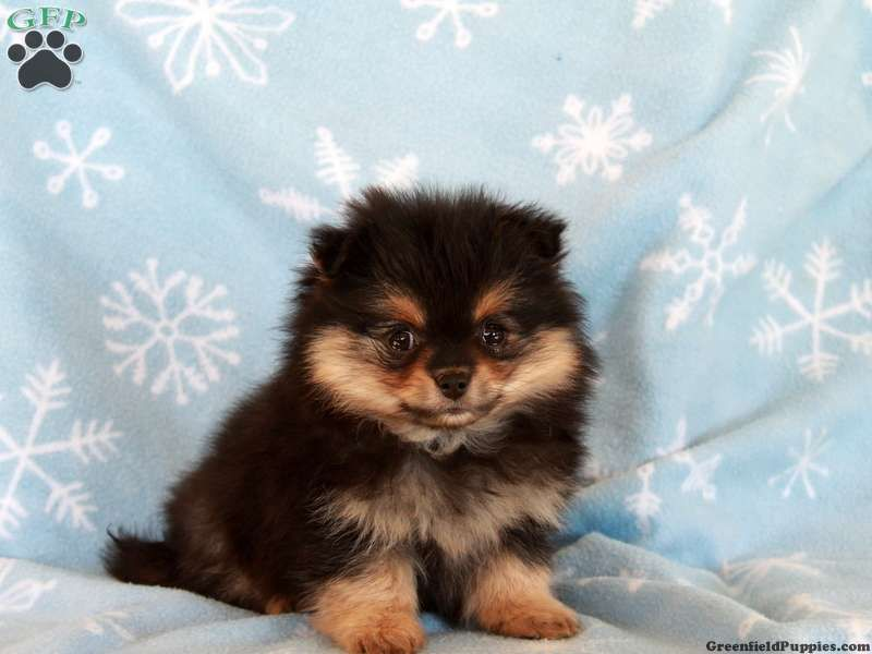 Olive pomeranian mix puppy for sale in pennsylvania