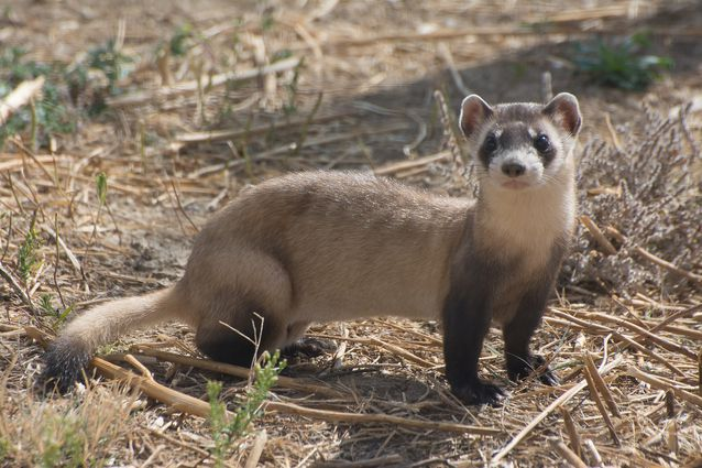 10 of the Cutest Endangered Species in 2020 Black footed