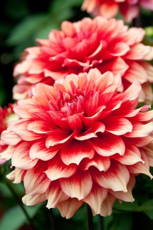 Dahlia Valerie Mcdonald Alan Buckingham Beautiful Flowers Dahlia Flower Pretty Flowers