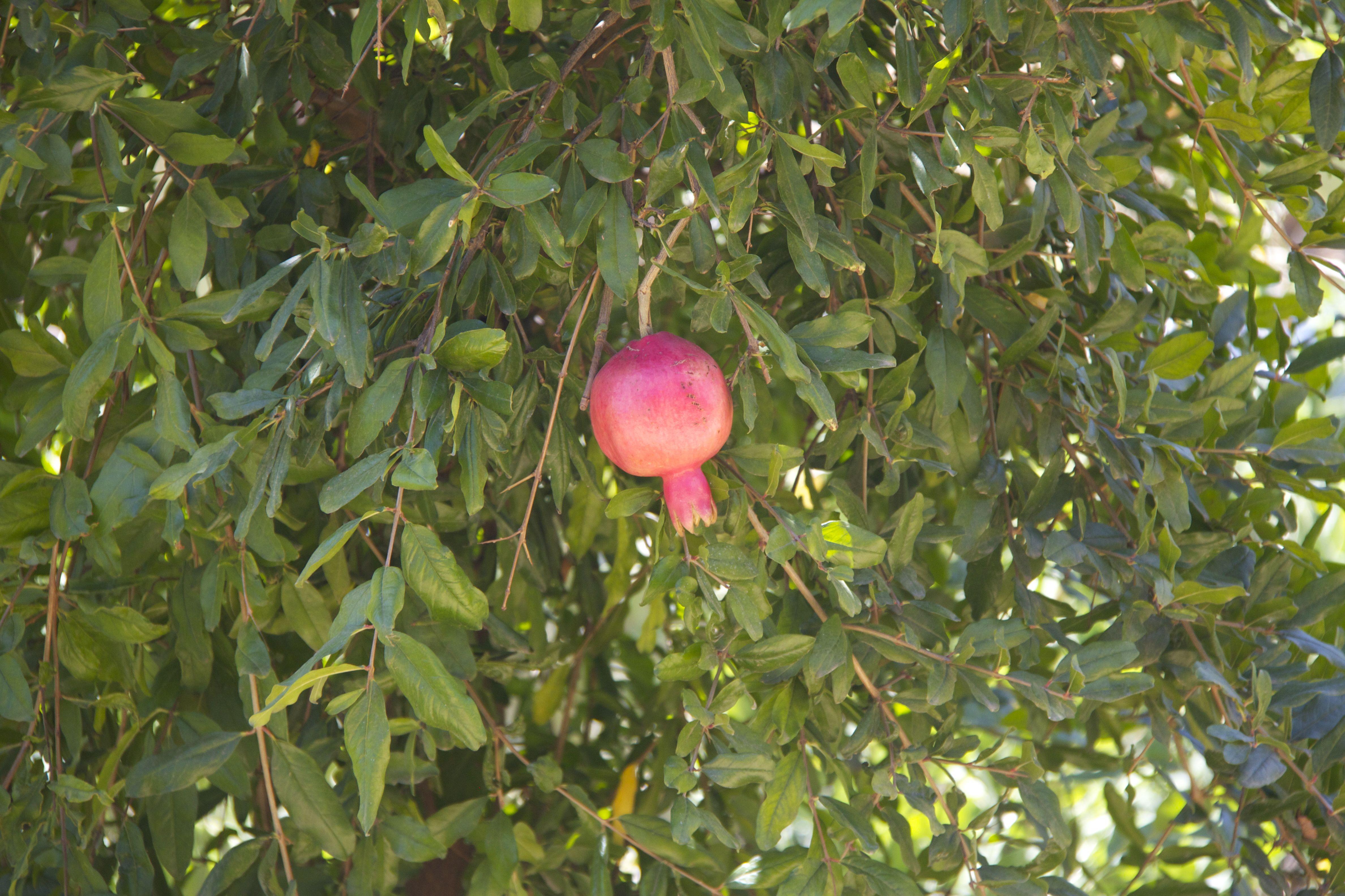 Pomegranate, Babylonstoren, South Africa