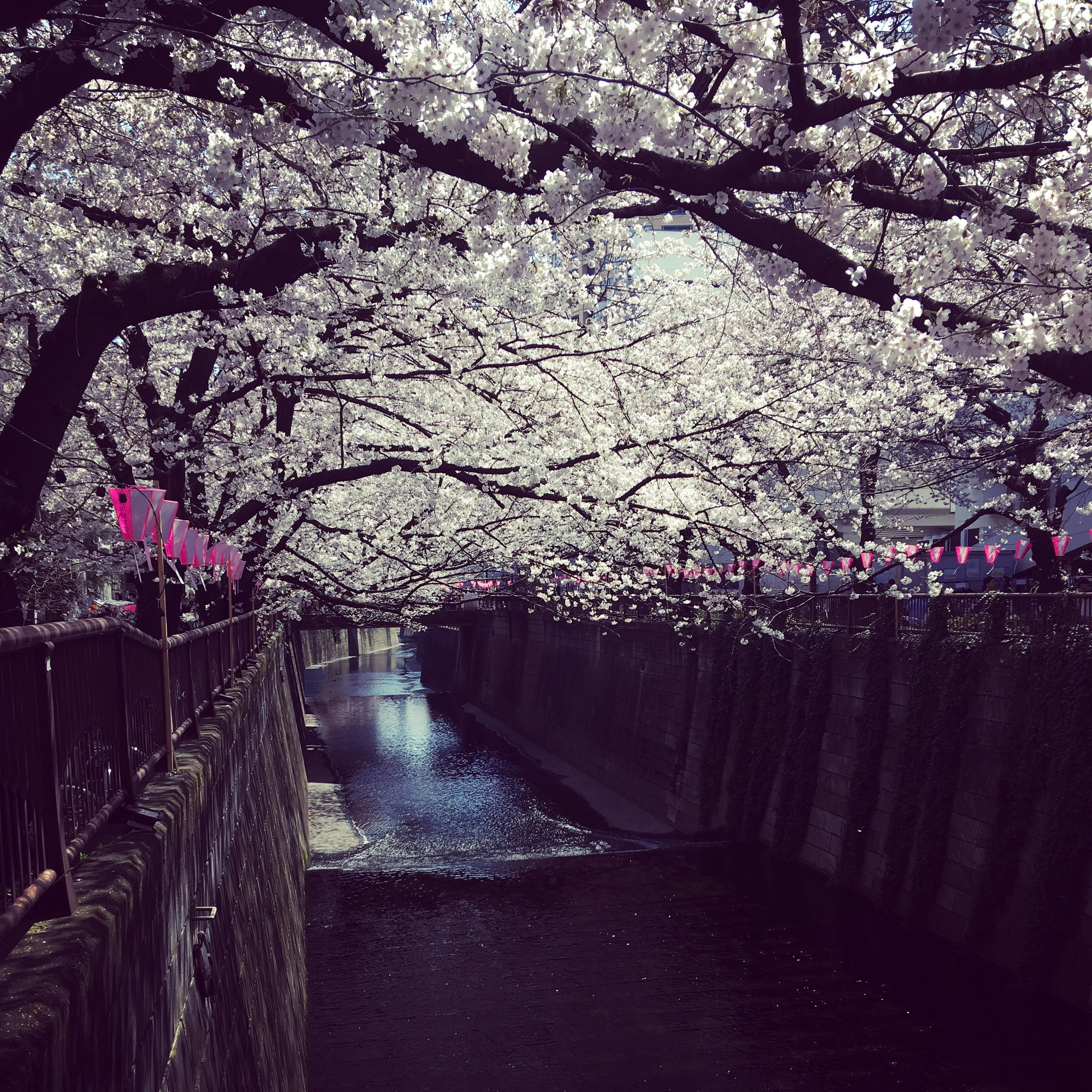 Cherry Blossoms Over Meguro River Photo Japan Photo Japan