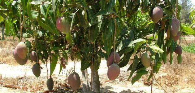 كيف أزرع شجرة المانجو Agriculture Fruit Grapes