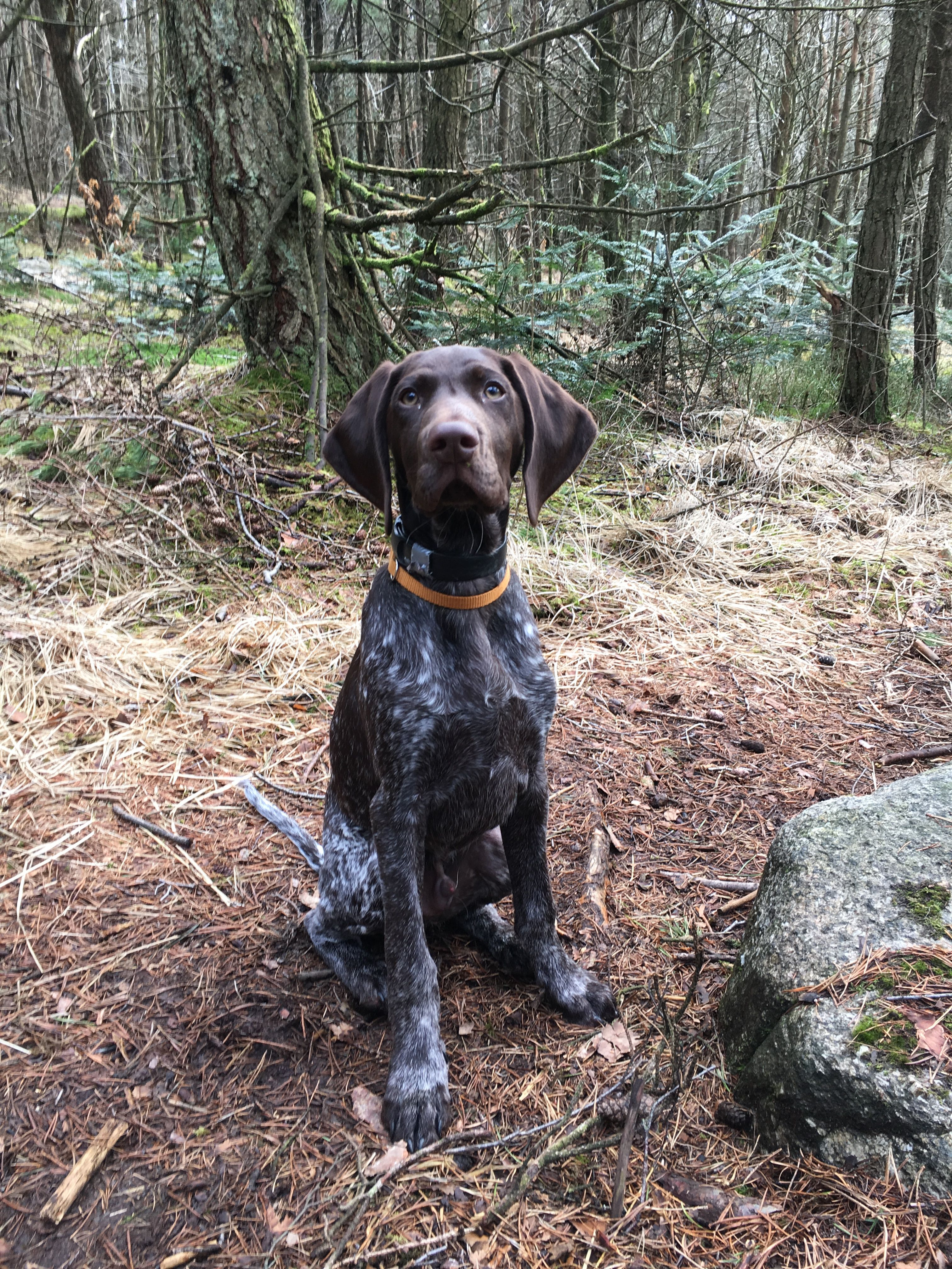 3 5 Months Old German Shorthaired Pointer Vikafjellets Tell Explor German Shorthaired Pointer German Shorthaired Pointer Dog German Shorthaired Pointer Black