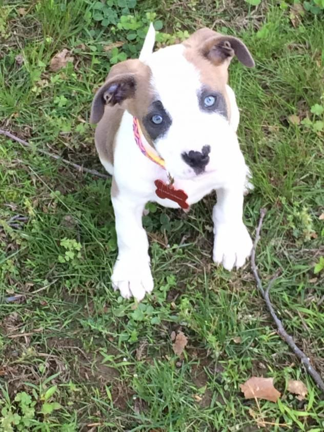 Adopt Samuel On Pitbull Terrier Terrier Mix Dogs Bull Terrier Mix