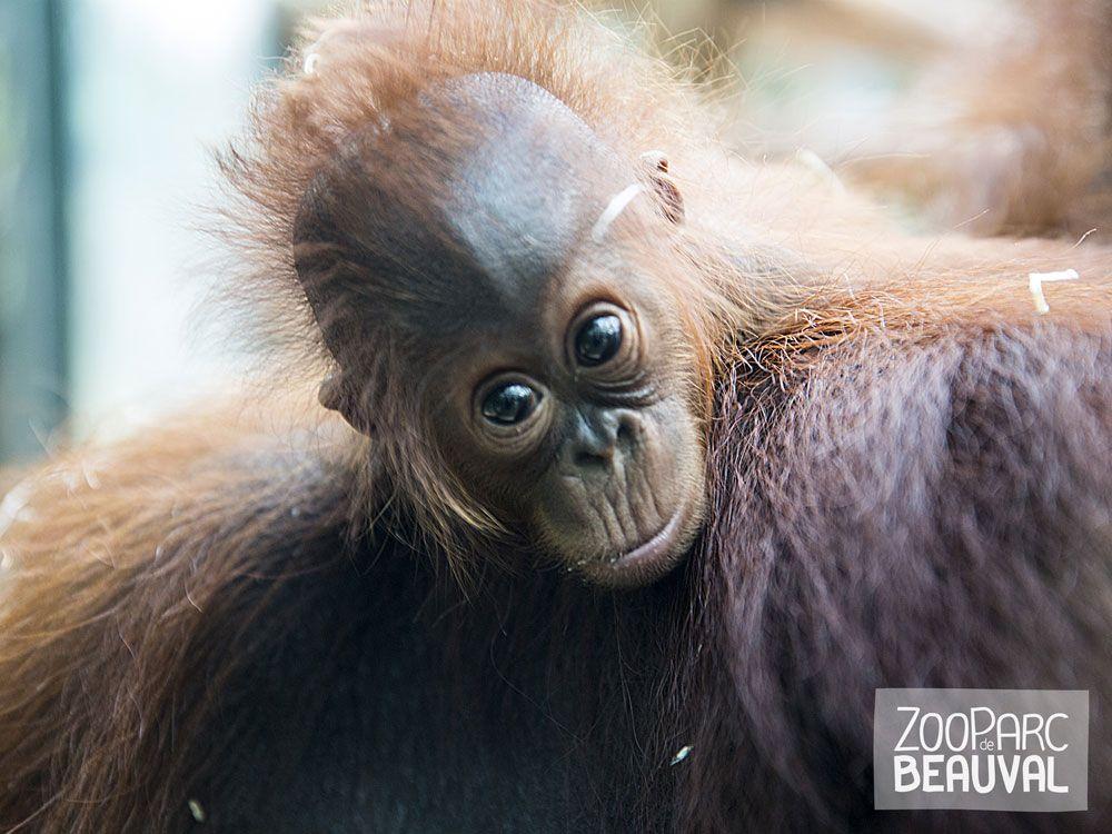 Gut bekannt Les 25 meilleures idées de la catégorie Bébé orang outan sur  KI55
