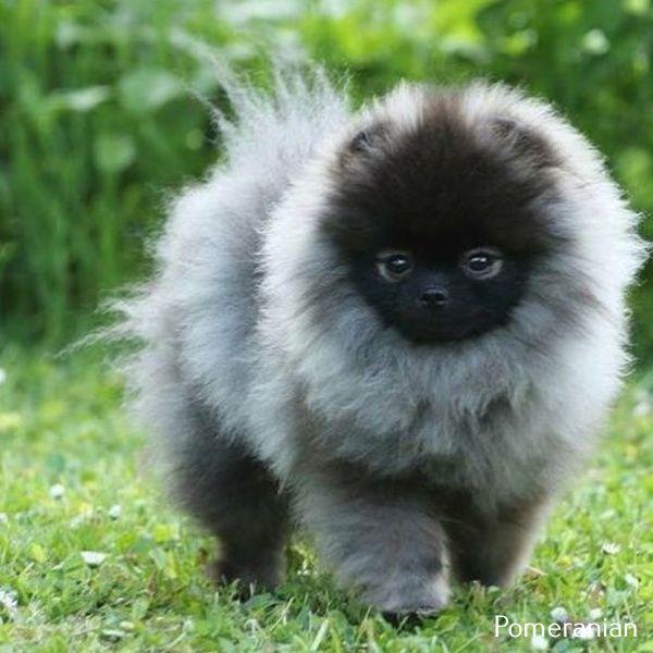 Photo of Pomeranian Puppy In Car