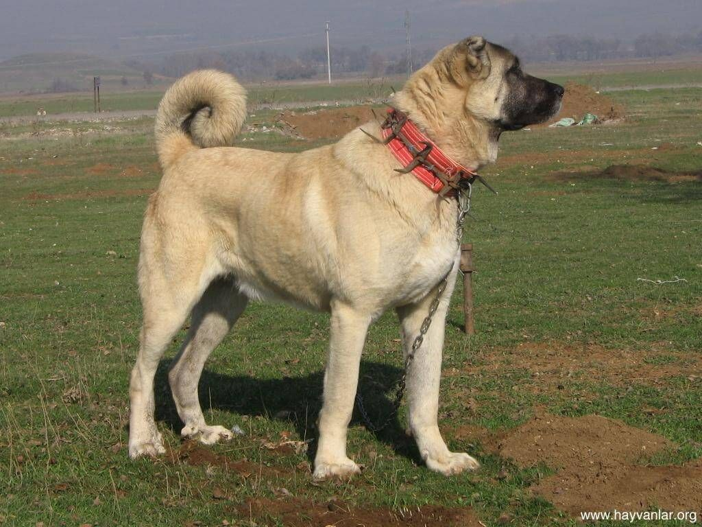 1920x1200 anatolian shepherd dog background download desktop wallpaper hd image amazing free. Kangal Dog Personality Temperament And Hd Pictures Kangal Dog Dog Breeds Dogs