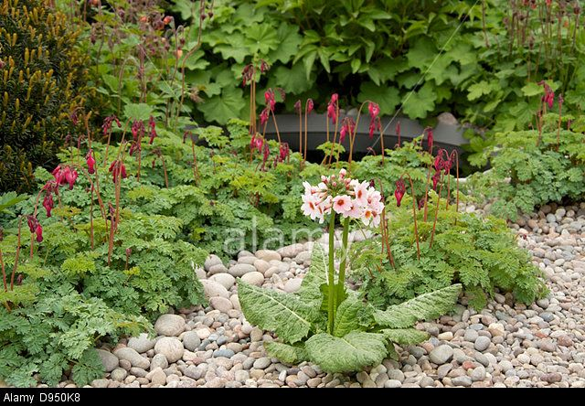 Primula japonica 'Apple Blossom' in The First Touch Garden at RHS Chelsea Flower Show 2013, London, UK. Stock Photo