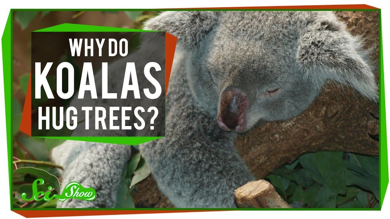Why Do Koalas Hug Trees? | Animal hugs, Hug - photo#37
