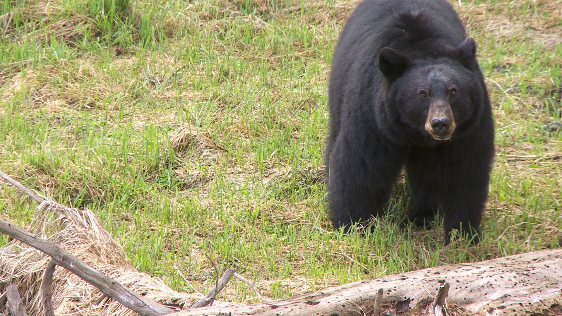 Black Bears Yosemite Nature Notes Episode 26 Black Bear Yosemite Bear
